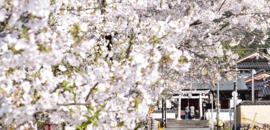 紺屋川筋の桜